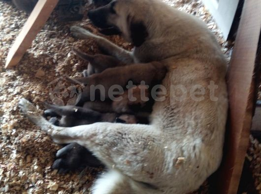 Kangal yavrusu 35 günlük 8 yavru 3 erkek 5 dişi