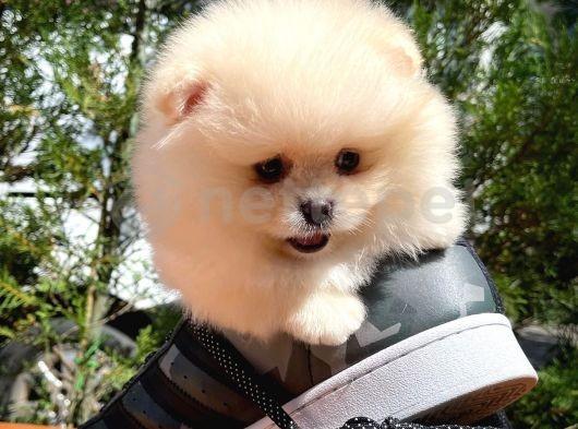 İnsancıl oyuncu Pomeranian Boo yavrumuz