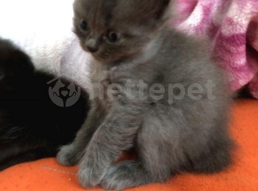 2 aylık british shorthair kedimiz yeni yuvasını arıyor