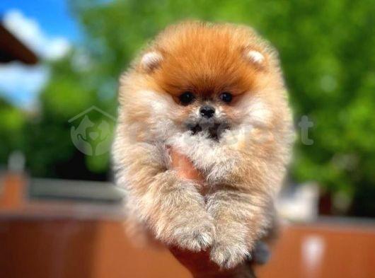 Tüy dökmüyor koku yapmıyor Pomeranian Boo yavrumuz