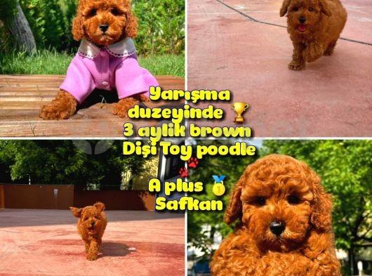 Orjinal renk Safkan Red Brown Toy poodle Kızımız Milka @yavrupatiler