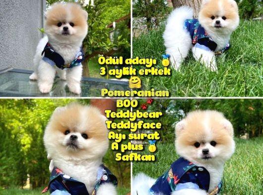Basık surat Mikro burun Ödül Adayı Safkan Boo Pomeranian @yavrupatiler