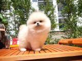 Tedybear Sevimli Pomeranian Boo