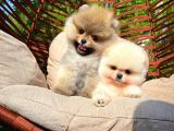 Pomeranian boo Gülen tip