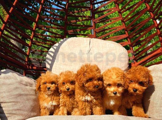 En Güzel Toy Poodle Ailesi