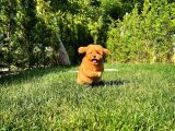 En İyi Fiyat ve Kalite Garantili ToyPoodle Oğlumuz/ İnstgram: Pomeranianboodunyasi_