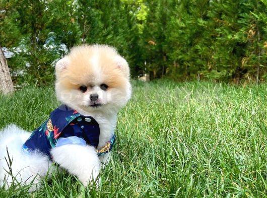 Ender Renk Kategorisinden 3 Aylık TeddyFace Boo Oğlumuz/ İnstagram: Pomeranianboodunyasi_