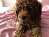 5 aylık erkek red brown