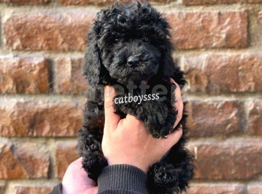 Siyah inci black toy poodle yavrular @catboyssss da