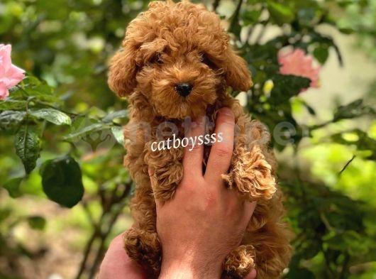 Irk ve sağlık garantili red toy poodle yavrumuz @catboyssss da