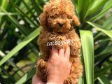 Sevimli kızıl red toy poodle yavrular @catboyssss da