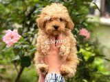 Irk ve sağlık garantili apricot toy poodle yavrular @catboyssss da
