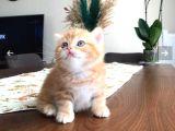 Anne Altindan kedilerimiz. Henuz 1.5 ayliktir