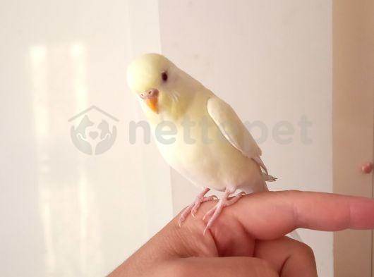 Dişi muhabbet kuşu 6 aylık
