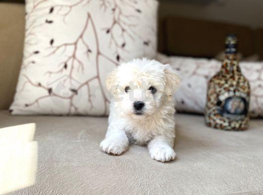 Dişi ve Erkek Maltese Terrier Yavrularımız