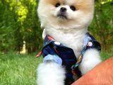 Nadir bulunan partycolor renkte Pomeranian Boo yavrumuz