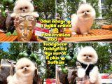 0,75 Mikro burun Ödül Adayı Safkan Boo Pomeranian @yavrupatiler