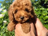 Red brown Poodle toy