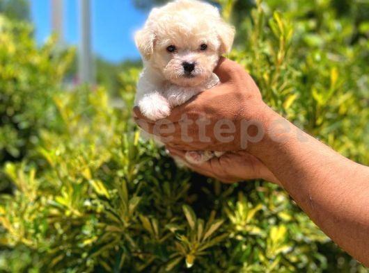 Dişi Maltese Terrier Yavrumuz