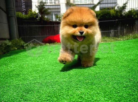 Karneli Sevimli Yıldızımız Pomeranian Boo yavrumuz