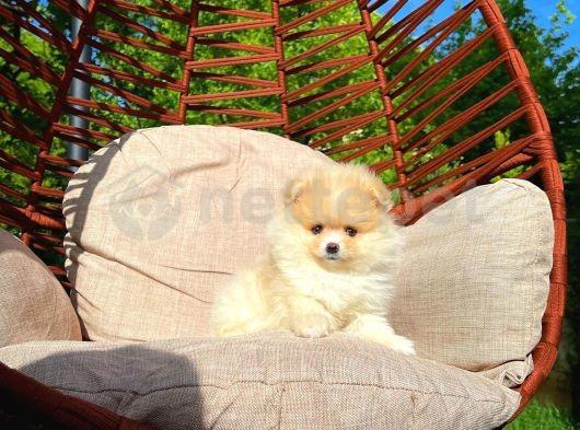 Gönüllerin Şampiyonu Pomeranian Boo yavrumuz