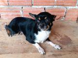 Orjinal Chihuahua(Chivava)