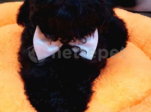 Irk ve sağlık garantili black toy poodle yavrumuz