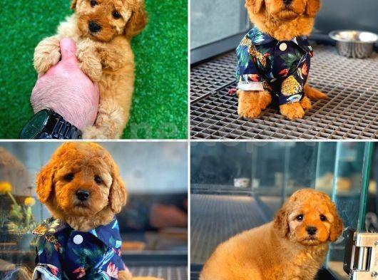 Irk ve sağlık garantili sözleşmeli toy poodle yavrularımız