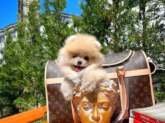 Mini boy teddy face yarışma düzeyi Boo Pomeranian yavrumuz
