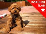 ' CocO ' Red Brown Toy Poodle Yavrumuz