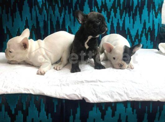 Muhteşem french bulldog yavrular