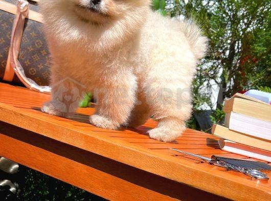Evinizin neşesi güzeller güzeli arkadaşınız Pomeranian Boo yavrumuz