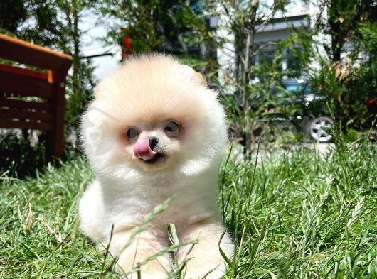 3 Aylık MiniBoy PomeranianBoo Yavrularımızdan
