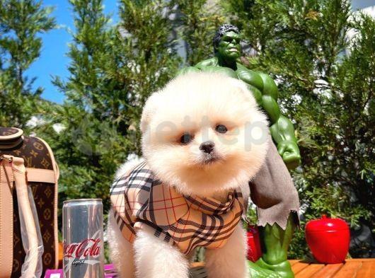 Yavru patiler Oyuncu sevimli Pomeranian Boo yavrumuz