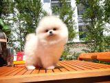 MiniBoy TeddyBear PomeranianBoo Oğlumuz/ İnstagram: pomeranianboodunyasi_