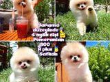 0,55 Mikro burun Ödül Adayı Safkan Boo Pomeranian @yavrupatiler