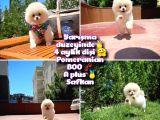 0,80 Mini burun Ödül Adayı Safkan Boo Pomeranian @yavrupatiler