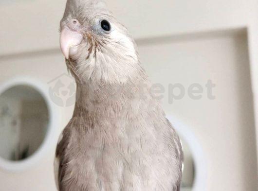 3 aylık white face cinnamon sultan papağanı