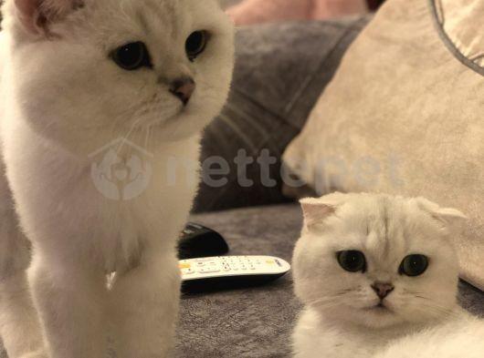 Scr Li Kendi Kedimin Yavruları Bembeyaz safkan