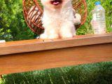 Secereli Safkan Pomeranian Boo yavrumuz