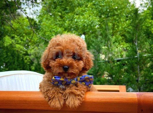 Üst Segment Zeki Oyuncu Enerjilk Toy Poodle