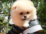Minik Paticik Oyuncu Pomeranian Boo yavrumuz