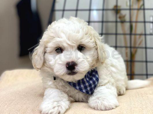 Tatlı Kızımız Maltese Terrier