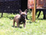 Koca Kulak French Bulldog Yavrularımız