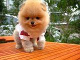 Yarışma düzeyinde Secereli Pomeranian Boo yavrumuz