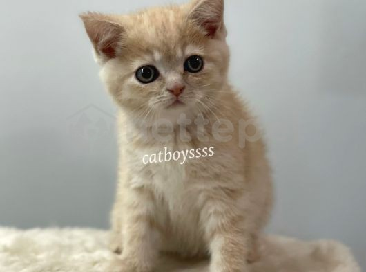 Cream color british shorthair erkek yavru @catboyssss da