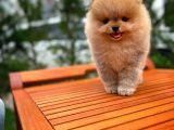 Pomeranian Gülen surat