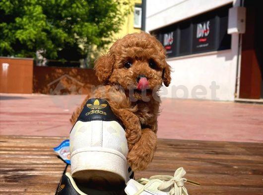 Secereli En Güzelinden Zeki Oyuncu Toy Poodle