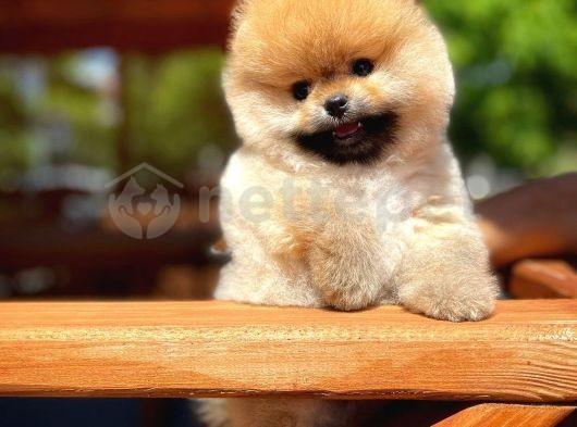 3 aylık yakışıklı oğlumuz Pasaport Karneli Pomeranian Boo