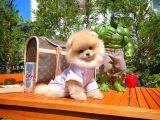 MiniBoy TeddyBear 3 Aylık Dişi Boo Kızımız